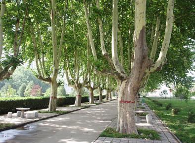 Platane Baum in einer Allee
