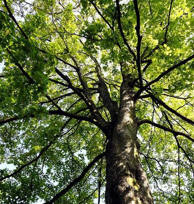 Ahornbaum für Ahorndielen
