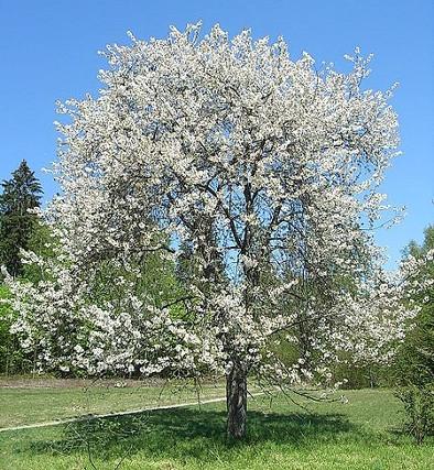 Kirschbaum für Dielen